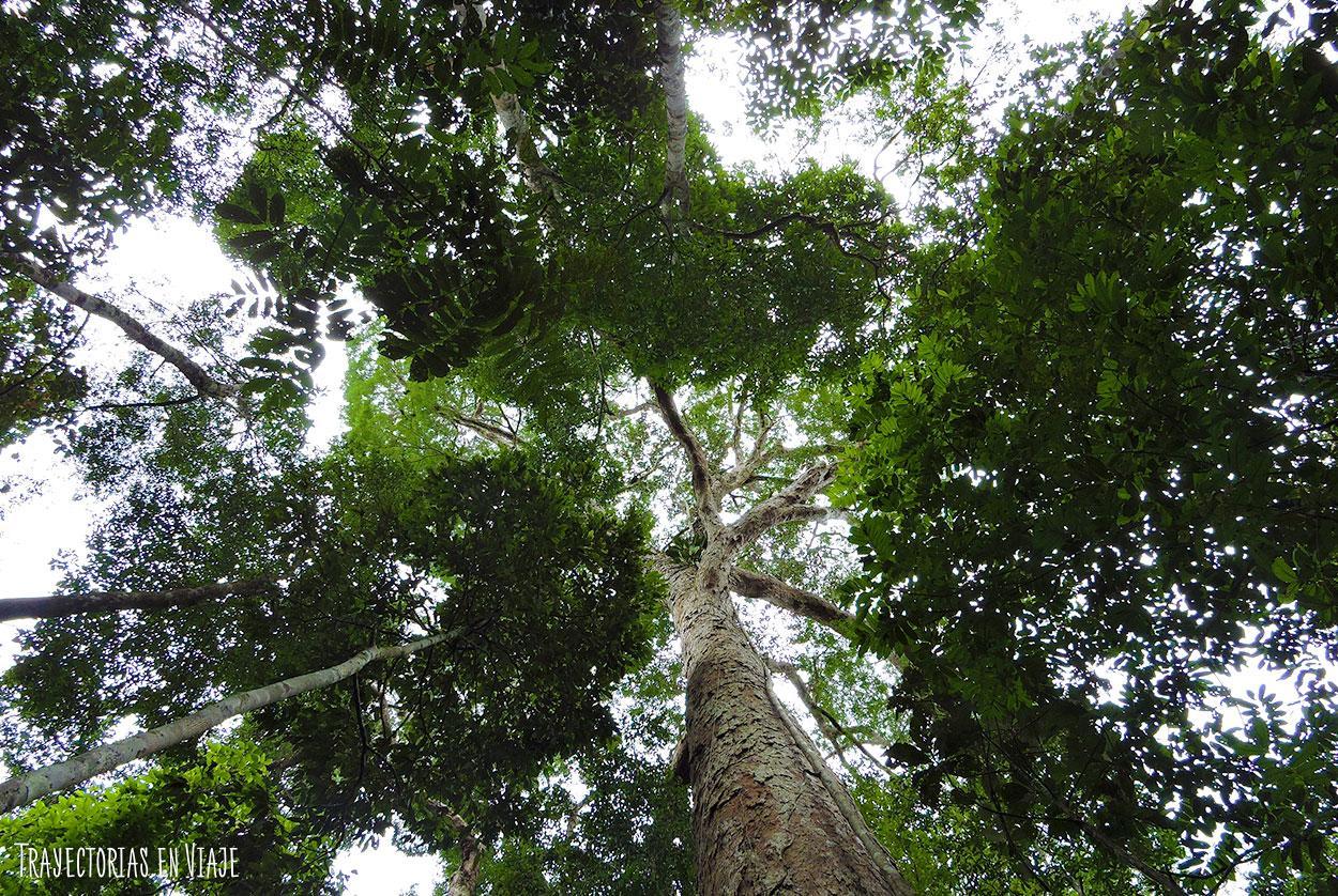 Árbol típico de la Amazonía brasileña.