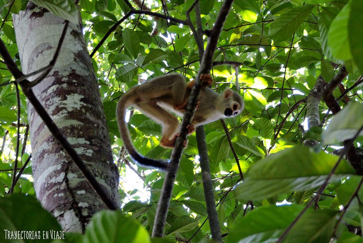 Macaco de la Amazonía brasileña.