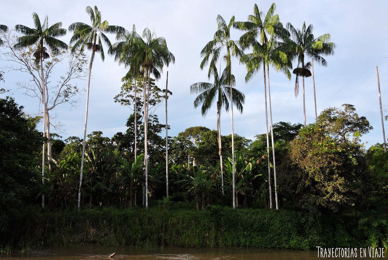 Árbol de acaí, típico del Amazonas de Brasil.