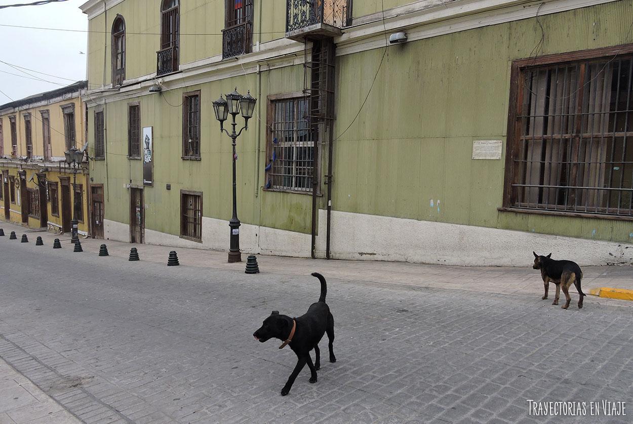 Perros sueltos paseando por Coquimbo.