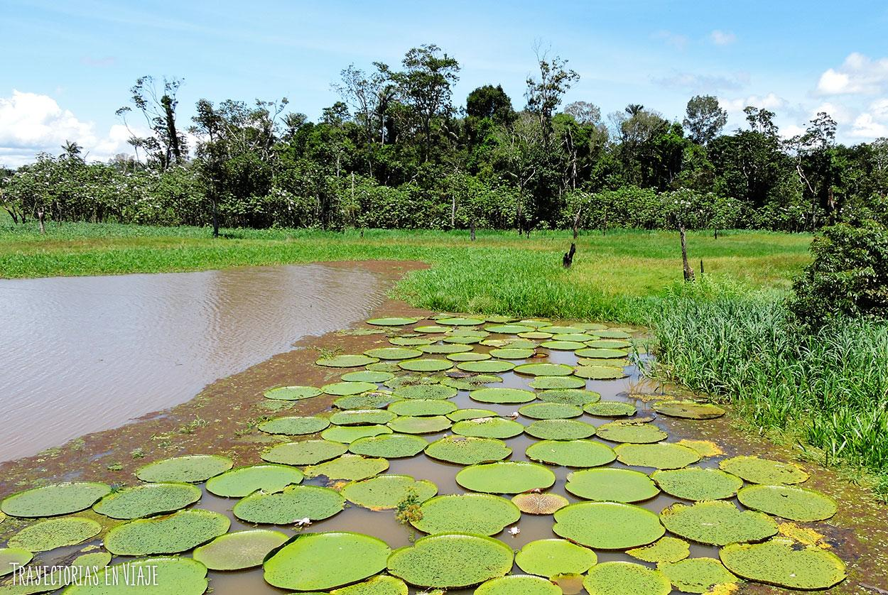 Flor típica de la Amazonía brasileña y de toda la región.